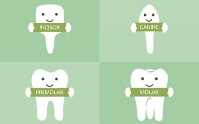 Understanding the Different Types of Teeth